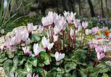 White and pink cyclamens