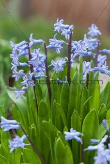 Blue hyacinth bunch