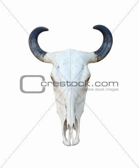 Buffalo skull isolate