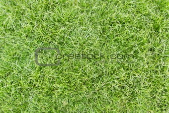 Green healthy grass
