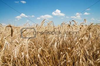 golden barley