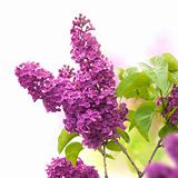 lilac flowers in spring