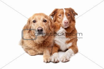 Nova Scotia Duck Tolling Retriever and a golden retriever