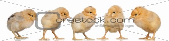 Group of yellow chickens
