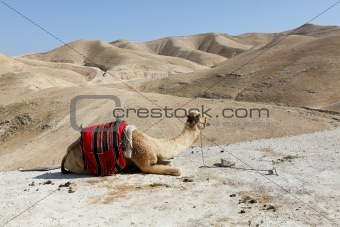 A camel in the desert of Judea