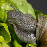 Grapevine snail closeup