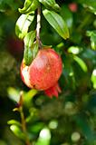 Pomegranate fruit and blossom on a sunny day