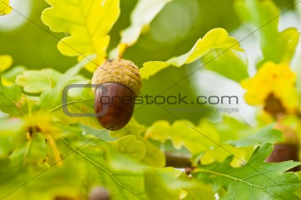 Fruit of an Oak tree ripe in autumn