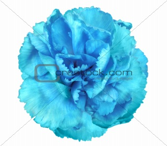 Blue flower of carnation