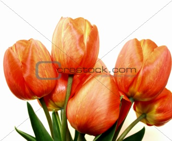 A beautiful spring tulip