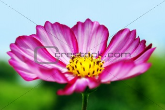 Pink Flower