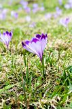Violet crocuses growing