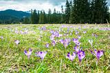 Spring crocuses in the mountains