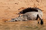Freshwater crocodile