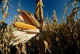 Corn cob in a field