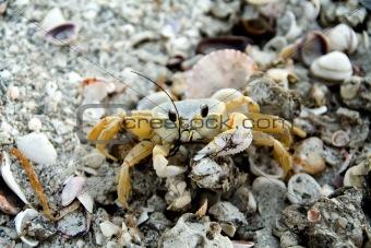Beady Eye Crab