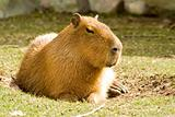 Capybara