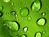 plant  leaves  and  water  drop