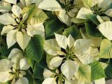 Yellow poinsettia background