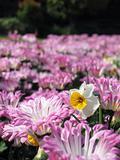 Daffodil in the chrysanthemum