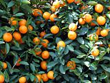 tangerines on the tree