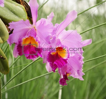 cattleya tropical flowers