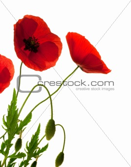 red poppies over white