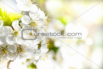 Blossoming apple garden in spring with very shallow focus