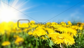 Field of spring flowers dandelions and perfect sunny day