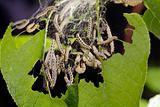 Bird-Cherry moth caterpillar