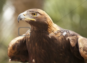 Beautiful California Golden Eagle Against Foliage Background.