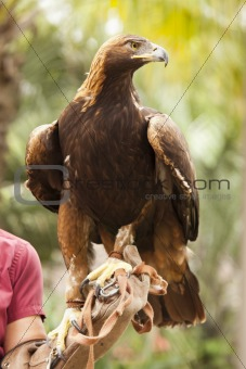 Handler with Beautiful California Golden Eagle Against Foliage Background.
