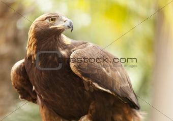 Beautiful California Golden Eagle Against Foliage Background.
