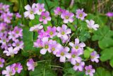 Pink oxalis(Oxalis corymbosa)