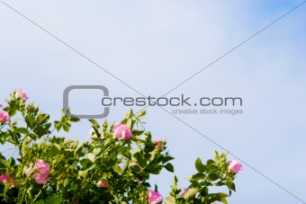 background of dog-roses