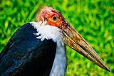 Marabou Stork