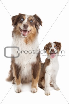 Australian Shepherd Adult and puppy