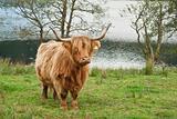 Highland cow (Bos taurus)