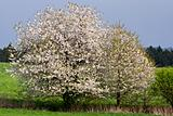 spring landscape with flowering cherry tree