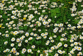 Daisy and clover field