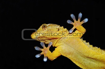 gecko lizard portrait