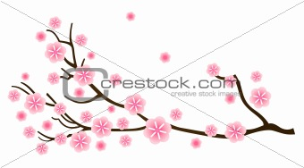 Sakura cherry blossom in spring isolated on white