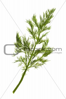 Fresh Dill / close-up / isolate on white