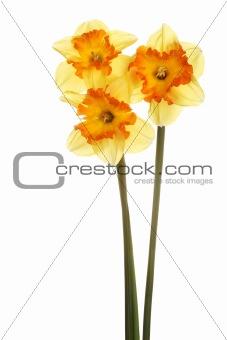 Three stems of orange and yellow daffodils