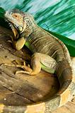 Iguana on a wooden floor