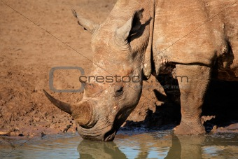 White rhinoceros drinking water