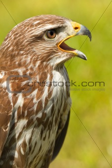Ferruginous hawk or Butea regalis