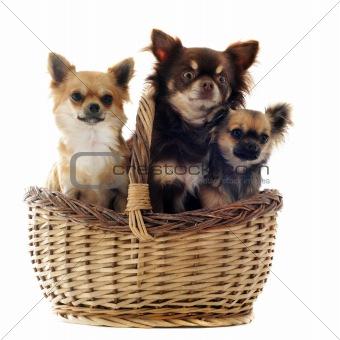 three chihuahua in a basket