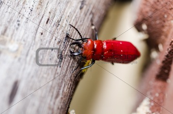 scissors of red beetle in the green nature