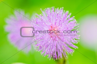 Sensitive plant flowers in the green nature